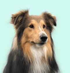 Nestea, chien Berger des Shetland