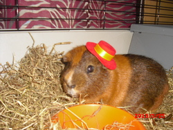 Nestor, rongeur Cochon d'Inde
