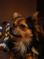 Nestor, chien Chihuahua