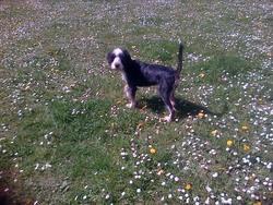 Nestor, chien Border Collie