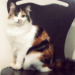 Nettie, chat Européen
