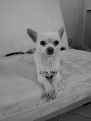 Nev', chien Chihuahua