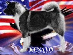Never Say Never De Gabritho, chien Akita américain