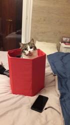 Névia, chat Européen