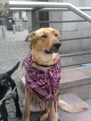 Névroz, chien Berger allemand