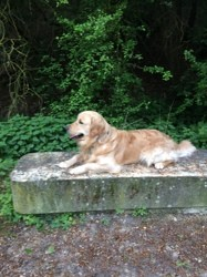 Newman Du Fond De La Noye, chien Golden Retriever
