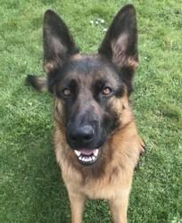 Newton, chien Berger allemand