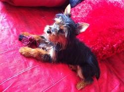 Newton , chien Yorkshire Terrier