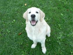 Newton, chien Golden Retriever