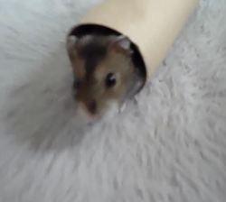 Newton, rongeur Hamster