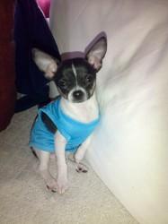 Newton, chiot Chihuahua