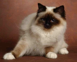 New-Yorck, chat Birman