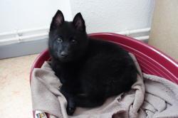 Nexus, chien Schipperke