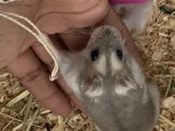 Neya, rongeur Hamster