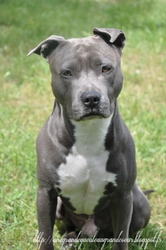 Neyo, chien American Staffordshire Terrier