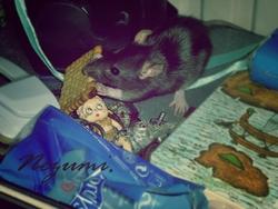 Nezumi, rongeur Rat