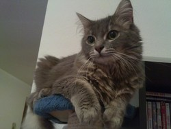 Nibi, chat Européen