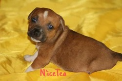 Nicet, chiot Staffordshire Bull Terrier