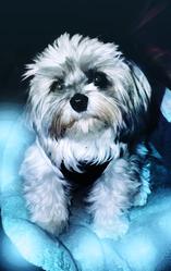 Nichy, chien Shih Tzu