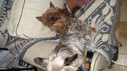 Nicki, chien Yorkshire Terrier