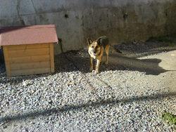 Nicky, chien Berger allemand
