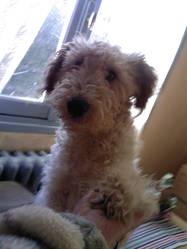 Nicky, chien Fox-Terrier