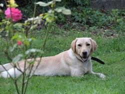 Nicky, chien Labrador Retriever