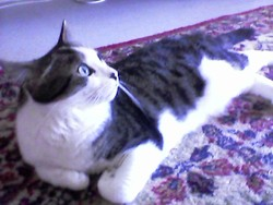 Nicolas, chat Européen