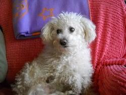 Nido, chien Bichon à poil frisé