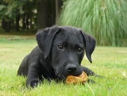 Night, chien Labrador Retriever