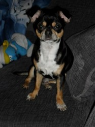 Niglo, chien Chihuahua