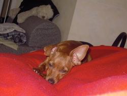 Niilah, chien Pinscher