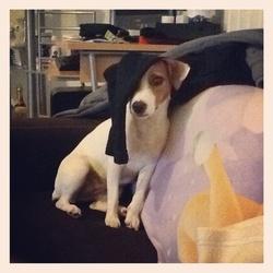 Nika, chien Jack Russell Terrier
