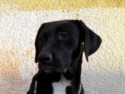 Niki, chien