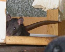Nikita, rongeur Rat