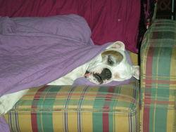 Nikita, chien Boxer