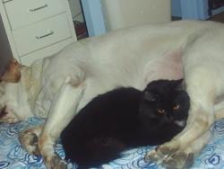 Nikita, chien Labrador Retriever