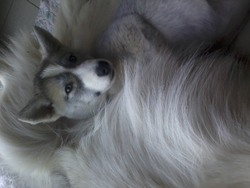 Nikita, chien Husky sibérien