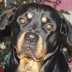 Nikita, chien Rottweiler