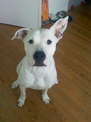 Nikita, chien Dogue argentin