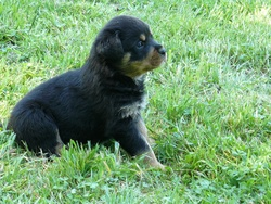 Gynko, chien Rottweiler