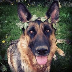 Nikita, chien Berger allemand