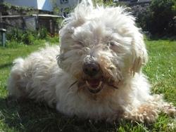 Nikita, chien Coton de Tuléar