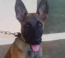 Nikita, chien Berger belge