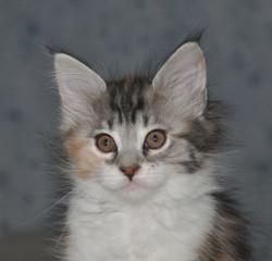Nikita, chaton Maine Coon
