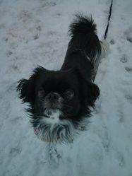 Nikki, chien Épagneul japonais