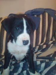 Nikkiiitta, chien Dogue argentin