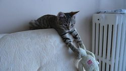 Nikkita, chat Européen