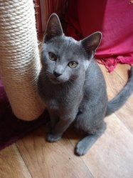 Tartine, chat Chartreux