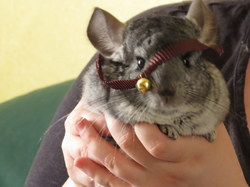 Nim, rongeur Chinchilla